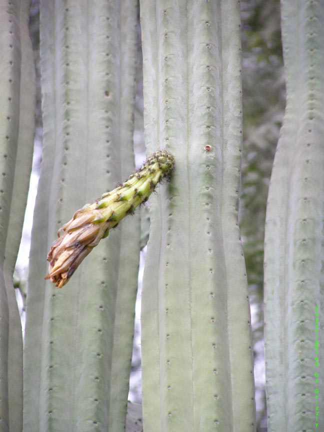 Trichocereus pachanoi growing in Peru. Copyright by Grizzly