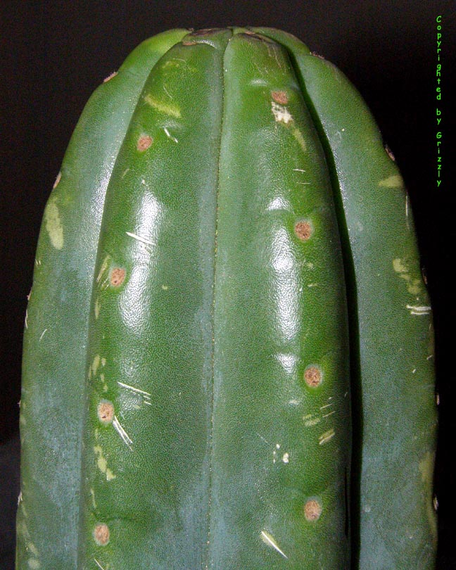 Trichocereus pachanoi tip from the witches market in Lima, Peru. Copyright by Grizzly