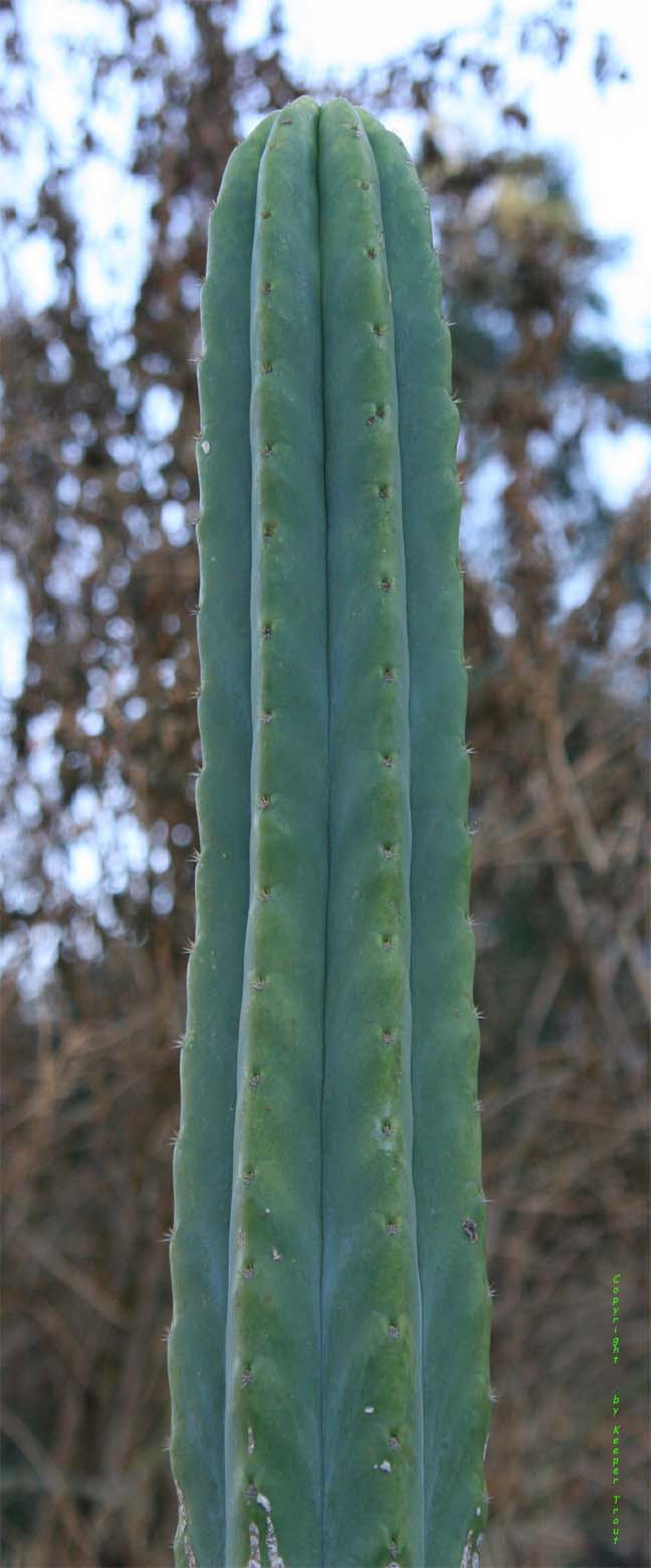 Trichocereus pachanot at LAA