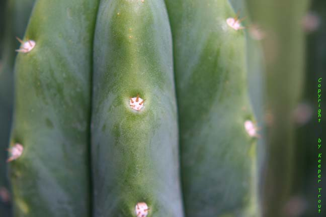 Trichocereus pachanot close