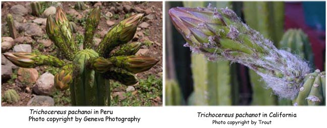 !!_021_pachanoi_buds_compared