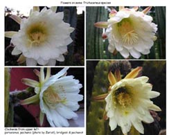 Trichocereus-flowers-compared