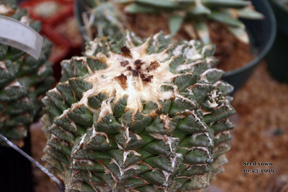 30 yr old seedling of Ariocarpus fissuratus