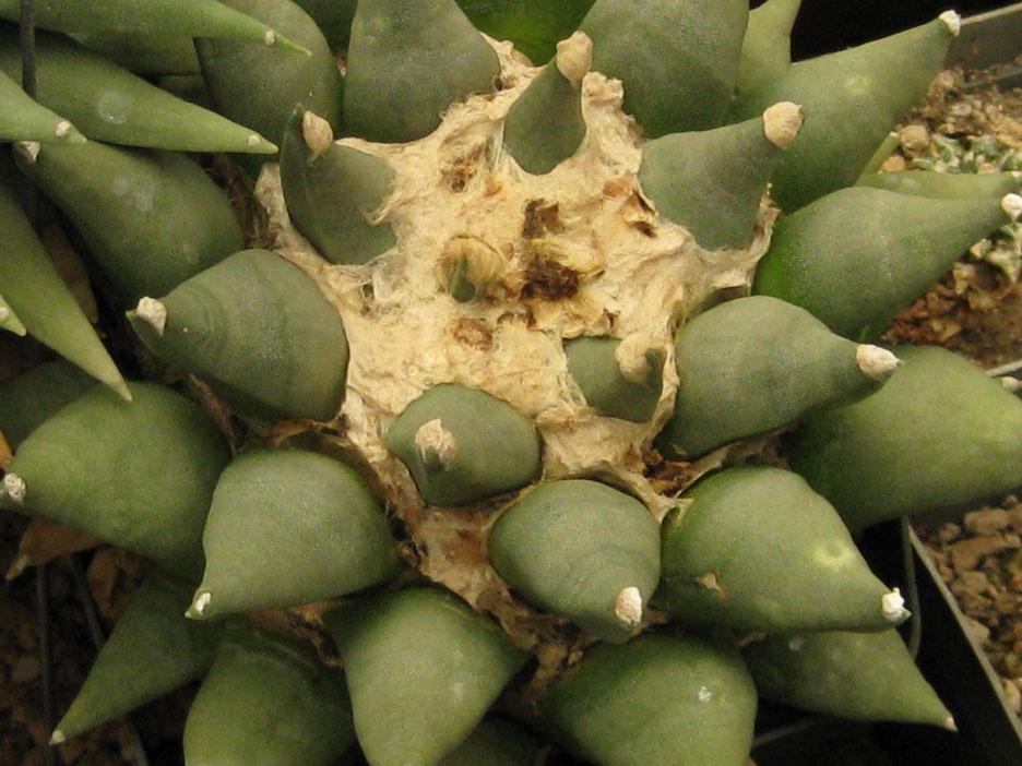 30 yr old seedling of Ariocarpus retusus