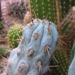 Browningia hertlingiana NMCR 2010