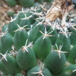 Coryphantha maiz-tablensis NMCR 2010