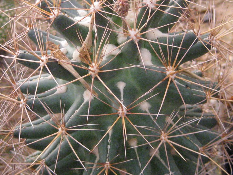 Coryphantha sp NMCR 2010