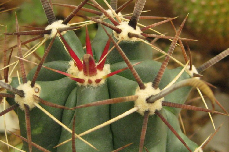 Ferocactus horridus NMCR 2010