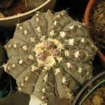 Gymnocalycium asterium NMCR 2010