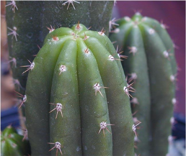 Trichocereus peruvianus huancabamba