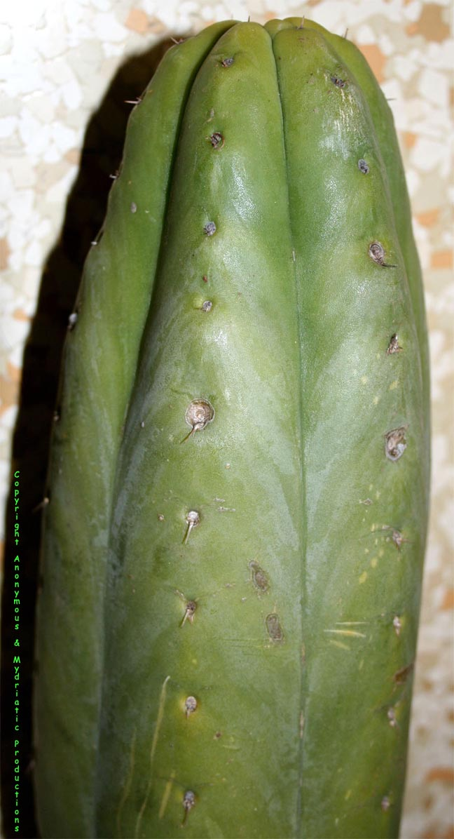 The pachanoid Trichocereus pachanoi cv. Juul's Giant