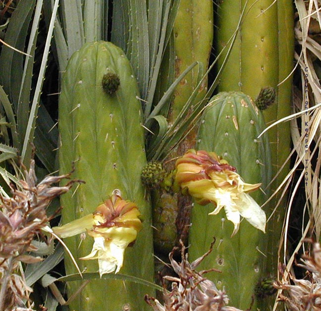 The-pachanoid-Trichocereus-sp-Peru-65-0729