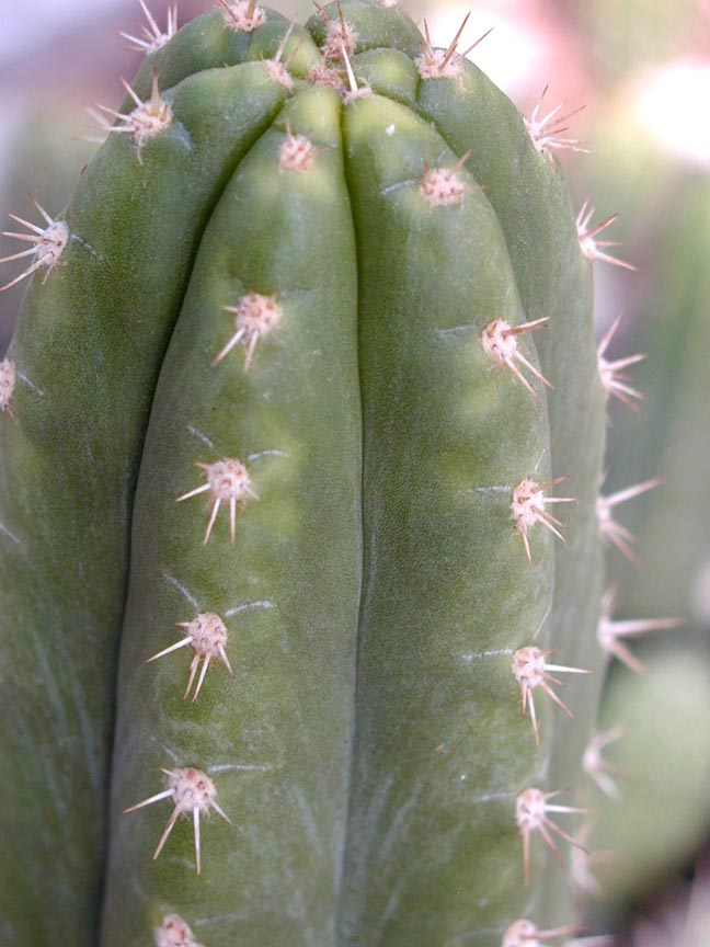 A-pachanoid-wild-collected-clone-Trichocereus-pachanoi-Peru-RM