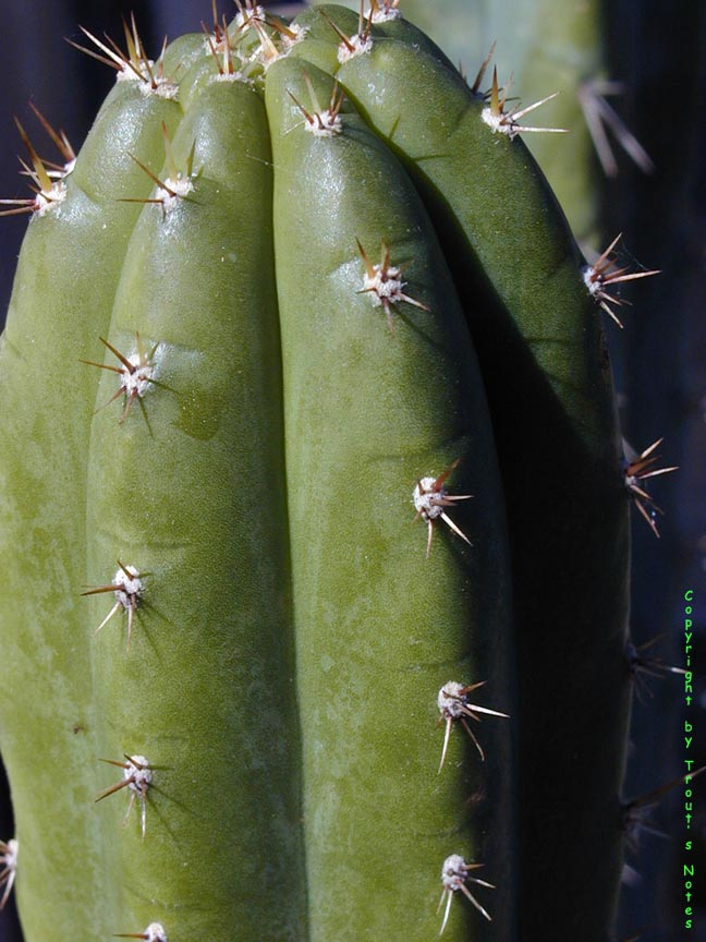 The pachanoid Trichocereus pachanoi Torres & Torres N. Chile