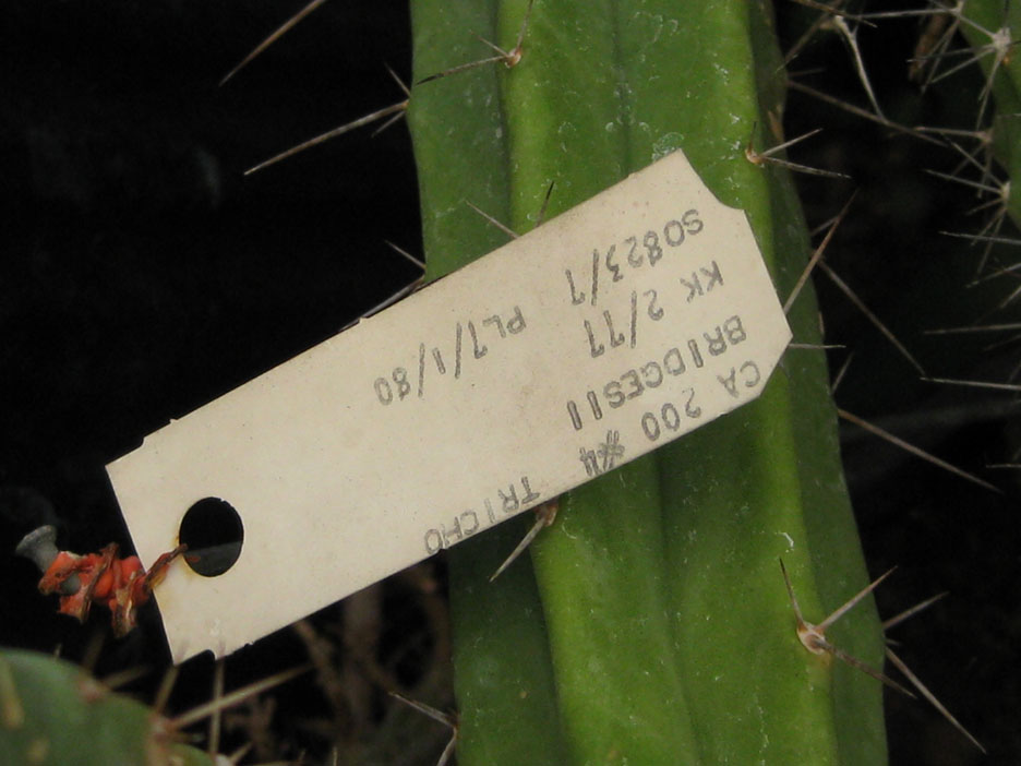 Trichocereus bridgesii at NMCR in 2010 from KK seeds