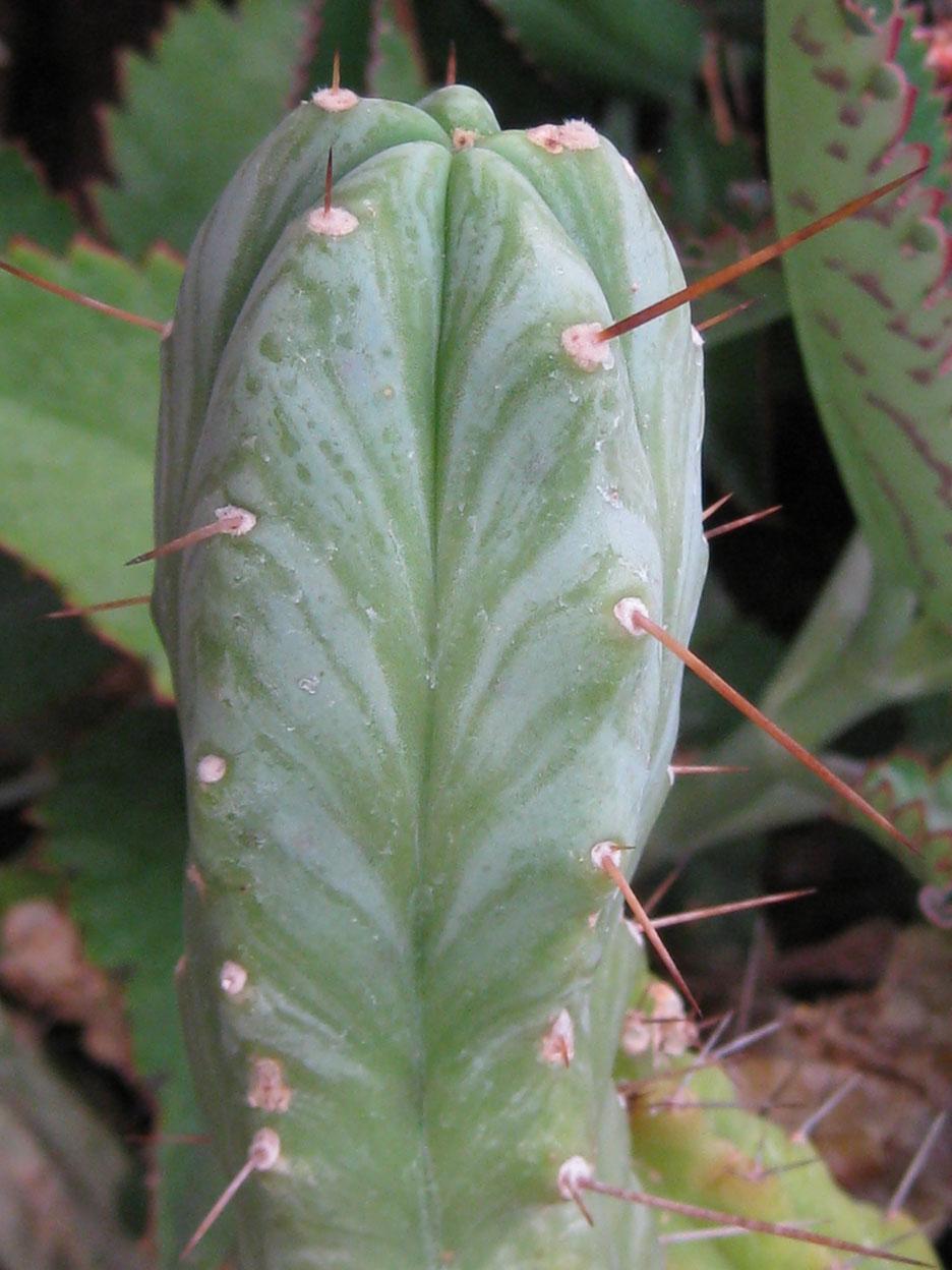 Trichocereus bridgesii at NMCR in 2010 from KK seeds