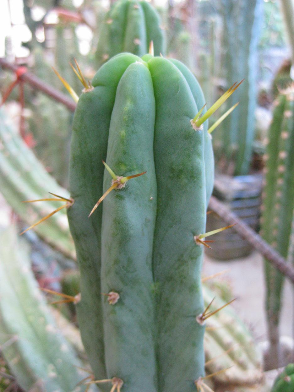 Trichocereus bridgesii longispinus