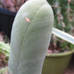 Trichocereus bridgesii monstrose at NMCR in 2010