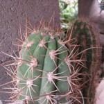 Trichocereus chilensis 'longispinus' at NMCR in 2010