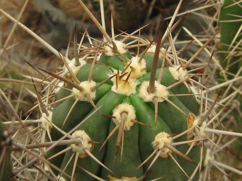 Trichocereus conaconensis KK (1975)
