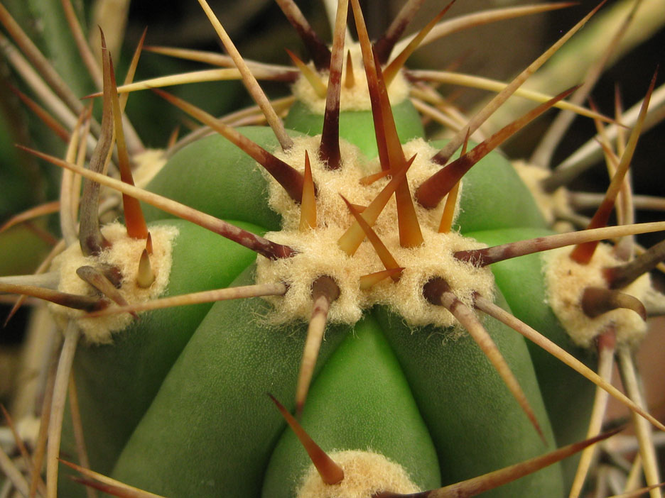 Trichocereus culpinensis at NMCR in 2010.