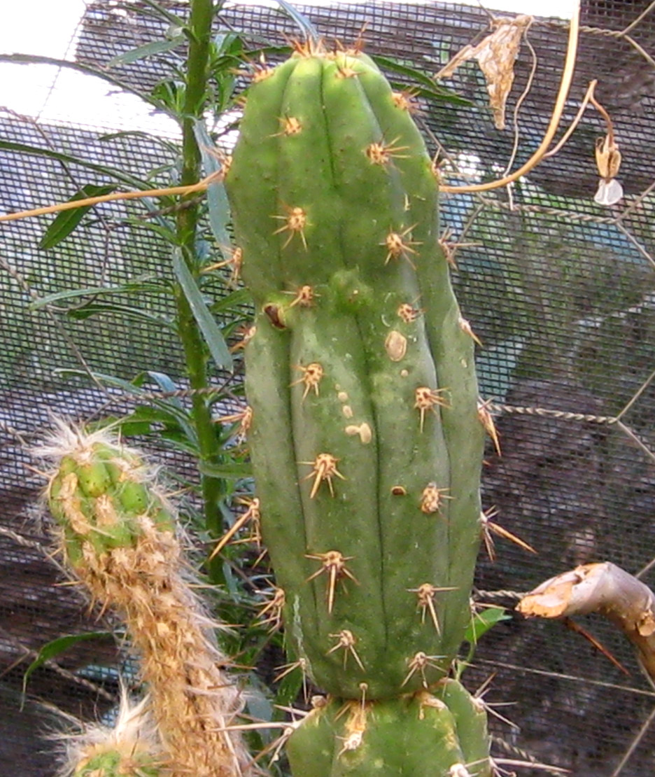 Trichocereus cuzcoensis at NMCR in 2010