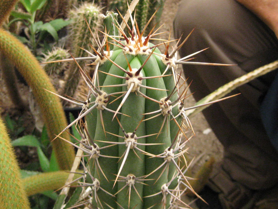 Trichocereus deserticola at NMCR in 2010
