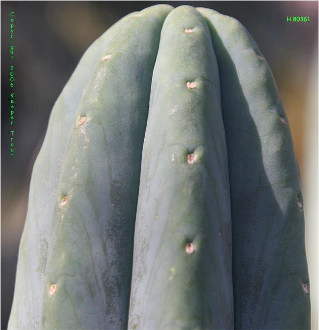 The pachanoid Trichocereus aff Huanucoensis