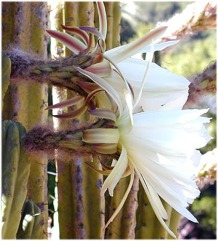Trichocereus-bridgesii-Ritter-seeds