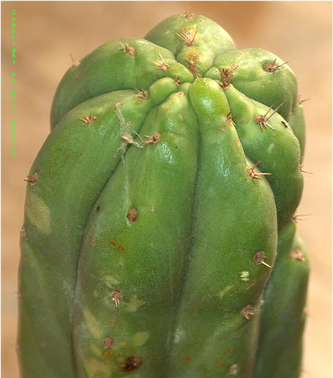 Trichocereus-pachanoi-Germany-EvilGenius-