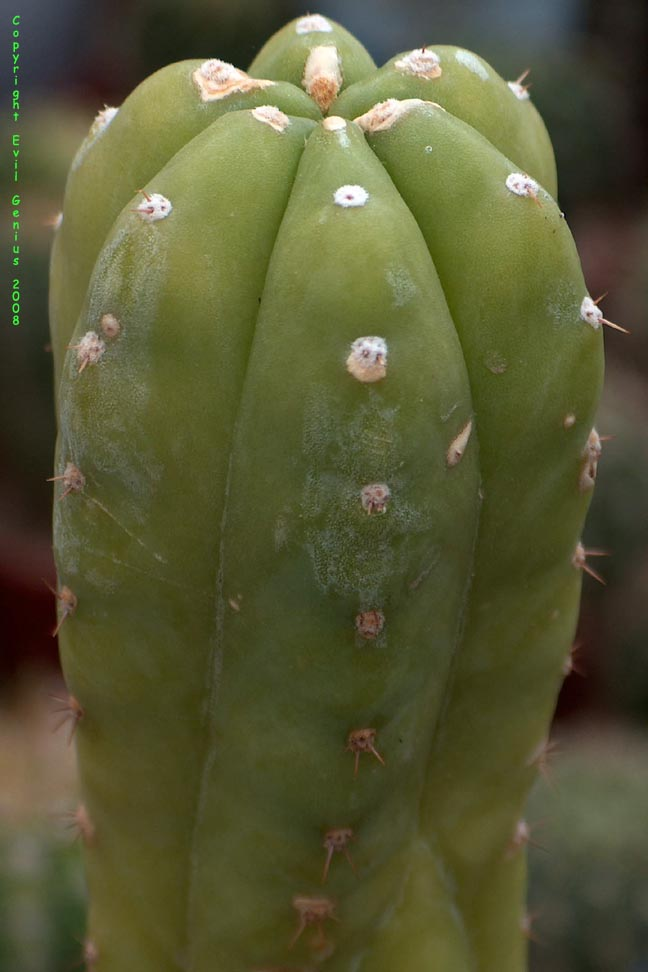 Trichocereus-pachanoi-Kaiserwerth-peruvianus-Peru
