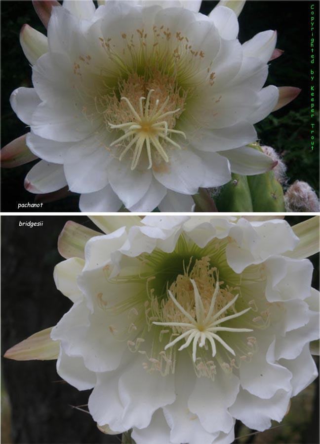 Trichocereus bridgesii compared to our pachanot