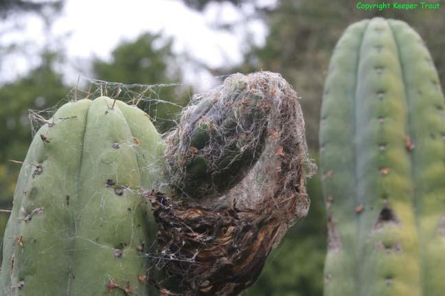 The-pachanoid-Trichocereus-peruvianus-Huancabamba-SS