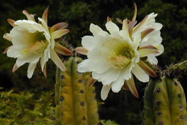 The-pachanoid-Trichocereus-huanucoensis-flowering