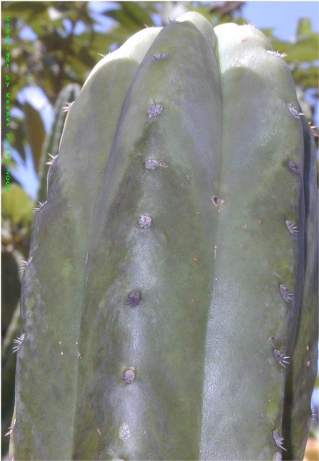 Trichocerus-pachanoi-Ecuador-Oz