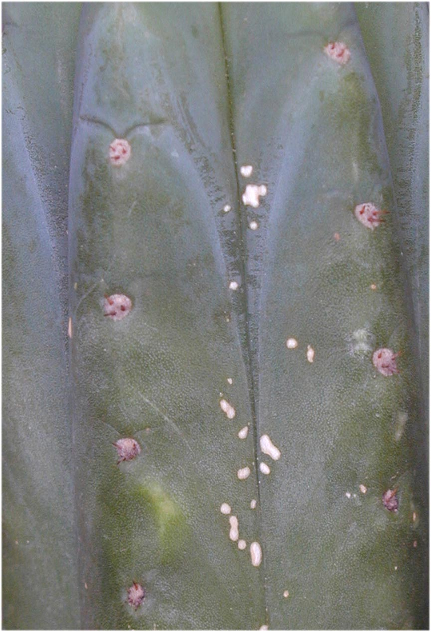 Ecuadorian Trichocereus pachanoi from Knize viewed closer