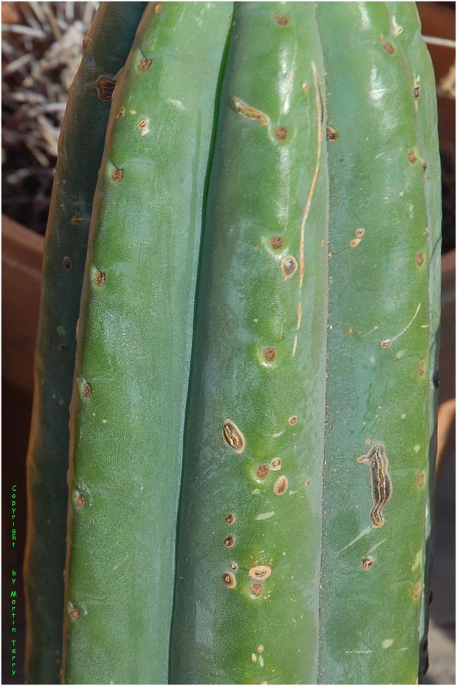 cuttings of Trichocereus pachanoi from Peru