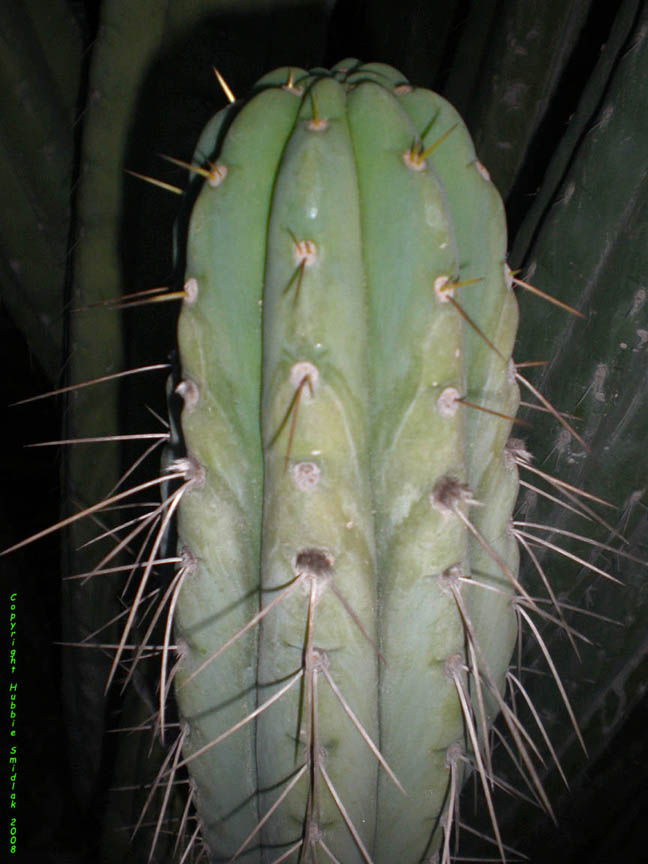Quito, Ecuador Trichocereus pachanoi Photograph copyright by Hubbie Smidlak