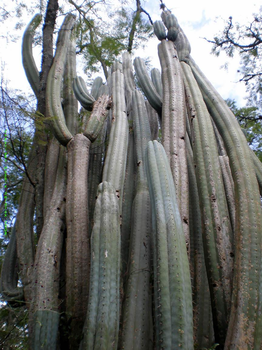 Trichocereus-pachanoi-Vilcabamba-HubbieSmidlak