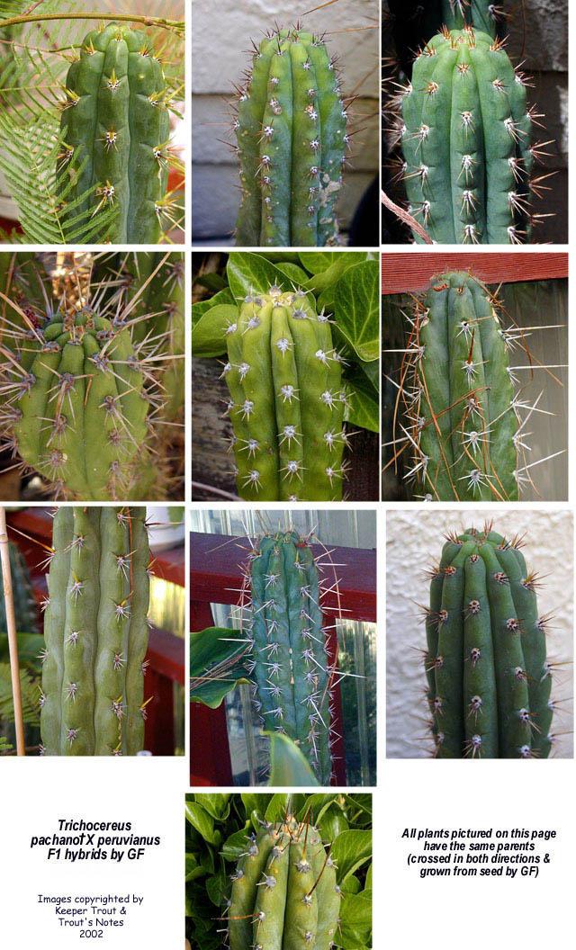 F1 hybrids of Trichocereus pachanot X Trichocereus peruvianus