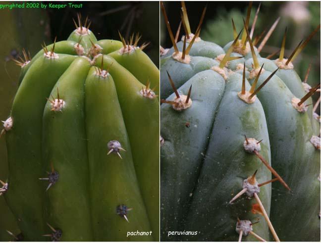 Trichocereus pachanot and Trichocereus peruvianus
