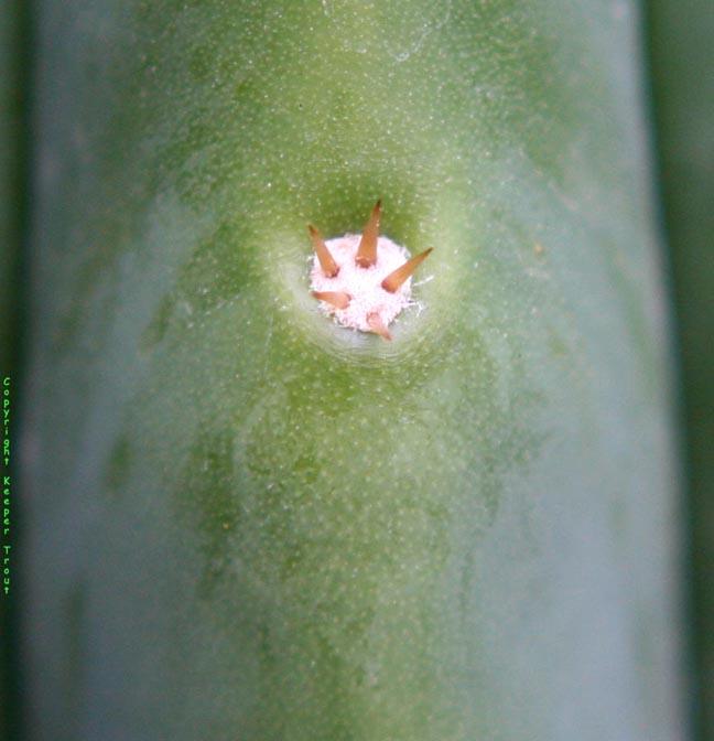pachanot-spinesclose