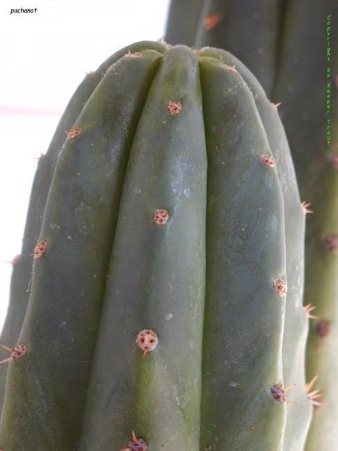 pachanot-tip