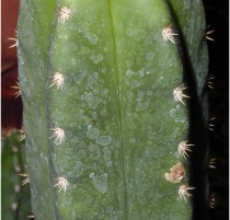riomizquiensis NMCR
