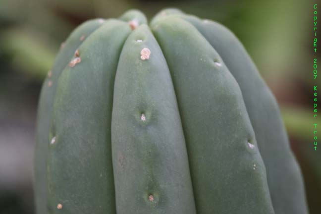 The pachanoid Trichocereus scopulicola grown in England