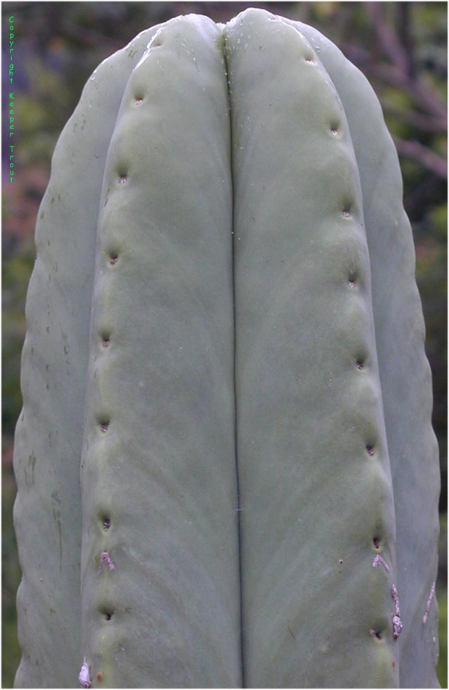 The pachanoid Trichocereus scopulicola in Oz