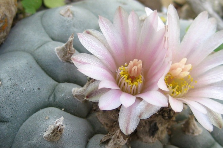 Lophophora williamsii flowering