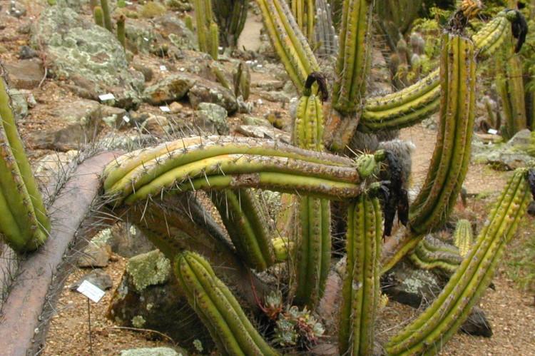 distribution; Trichocereus peruvianus PCH543