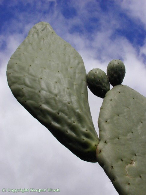 distribution; Opuntia-ficus-indica