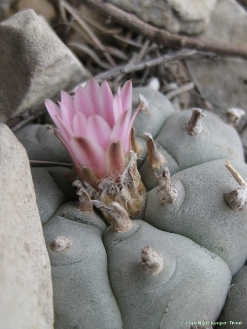 distribution; Lophophora williamsii echinata